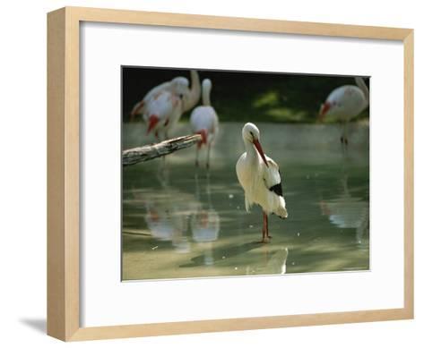 A European White Stork Wades with Chilean Flamingos in Shallow Pool-Joel Sartore-Framed Art Print