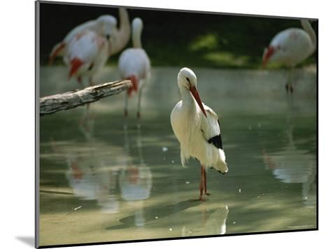 A European White Stork Wades with Chilean Flamingos in Shallow Pool-Joel Sartore-Mounted Photographic Print