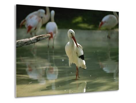 A European White Stork Wades with Chilean Flamingos in Shallow Pool-Joel Sartore-Metal Print