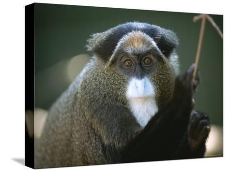 A Portrait of a Debrazzas Monkey-Joel Sartore-Stretched Canvas Print