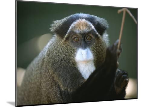 A Portrait of a Debrazzas Monkey-Joel Sartore-Mounted Photographic Print