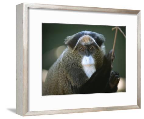 A Portrait of a Debrazzas Monkey-Joel Sartore-Framed Art Print