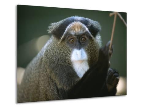 A Portrait of a Debrazzas Monkey-Joel Sartore-Metal Print