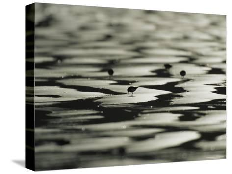 Sandpipers on Sandflats, Clayoquot Sound, Vancouver Island-Joel Sartore-Stretched Canvas Print