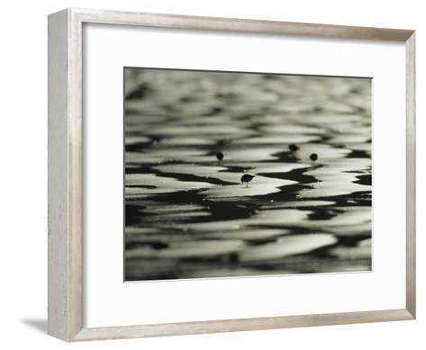 Sandpipers on Sandflats, Clayoquot Sound, Vancouver Island-Joel Sartore-Framed Art Print