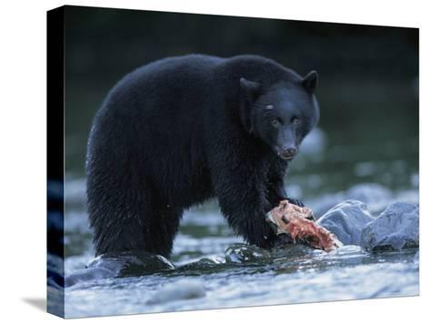 Black Bear with Salmon Carcass-Joel Sartore-Stretched Canvas Print