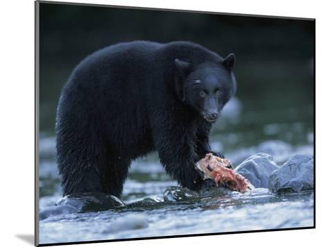 Black Bear with Salmon Carcass-Joel Sartore-Mounted Photographic Print