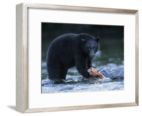 Black Bear with Salmon Carcass-Joel Sartore-Framed Art Print
