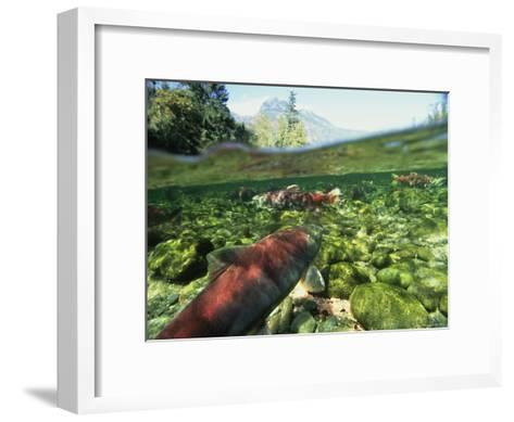 Salmon Underwater, Clayoquot Sound, Vancouver Island-Joel Sartore-Framed Art Print