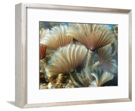 A Close View of Tubeworms with Their Food-Filtering Tentacles Waving-Raul Touzon-Framed Art Print
