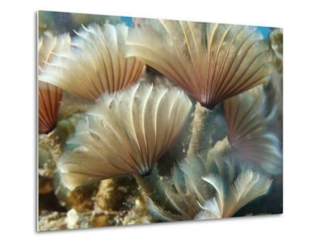 A Close View of Tubeworms with Their Food-Filtering Tentacles Waving-Raul Touzon-Metal Print