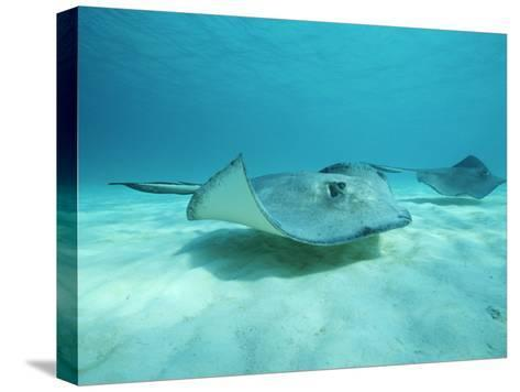 A Pair of Southern Stingrays Swim over Ocean Floor-Raul Touzon-Stretched Canvas Print