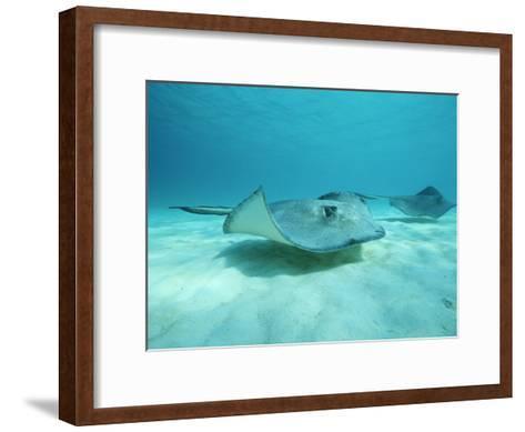 A Pair of Southern Stingrays Swim over Ocean Floor-Raul Touzon-Framed Art Print