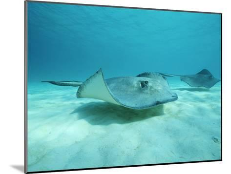 A Pair of Southern Stingrays Swim over Ocean Floor-Raul Touzon-Mounted Photographic Print