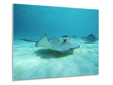 A Pair of Southern Stingrays Swim over Ocean Floor-Raul Touzon-Metal Print