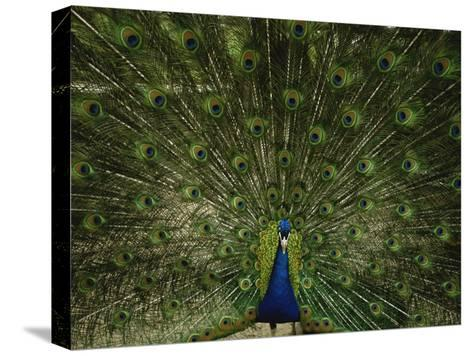 A Male Peacock Displays His Plumage-Joel Sartore-Stretched Canvas Print