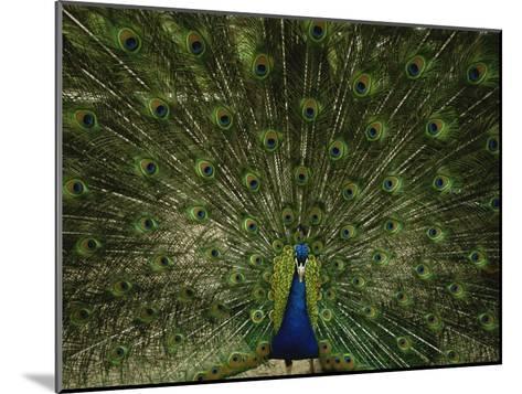A Male Peacock Displays His Plumage-Joel Sartore-Mounted Photographic Print