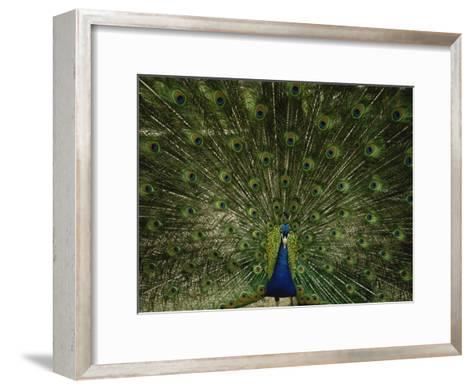 A Male Peacock Displays His Plumage-Joel Sartore-Framed Art Print