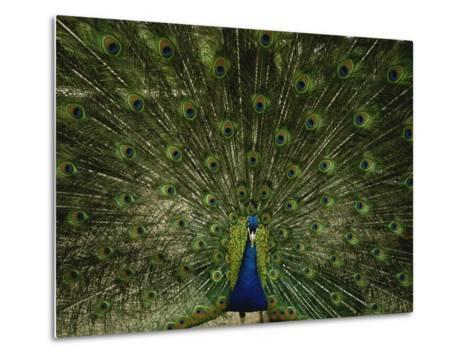 A Male Peacock Displays His Plumage-Joel Sartore-Metal Print