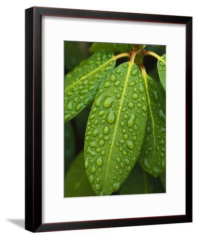 A Close View of Raindrops on Rhododendron Leaves-Tim Laman-Framed Art Print