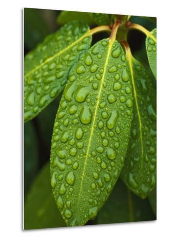 A Close View of Raindrops on Rhododendron Leaves-Tim Laman-Metal Print