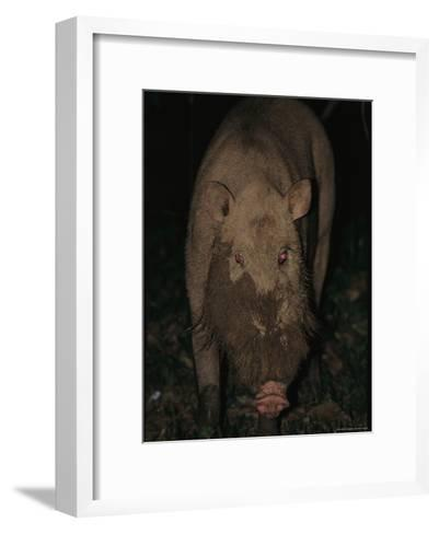 A Wild Swine Forages for Food in the Ground-Tim Laman-Framed Art Print