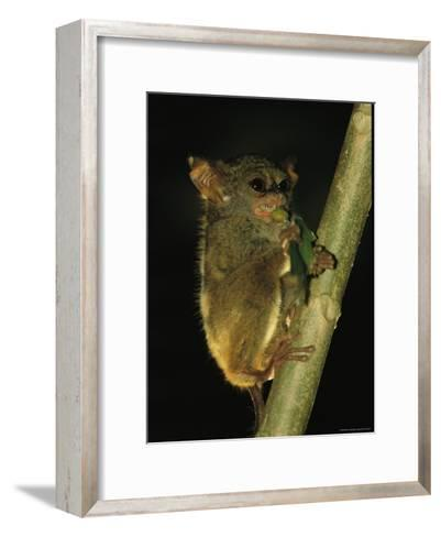 A Tarsier Climbs a Tree as it Feeds on an Insect-Tim Laman-Framed Art Print