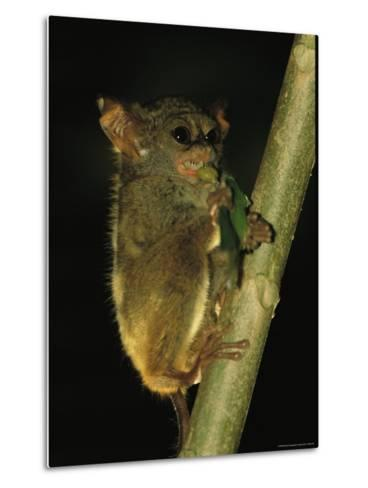A Tarsier Climbs a Tree as it Feeds on an Insect-Tim Laman-Metal Print