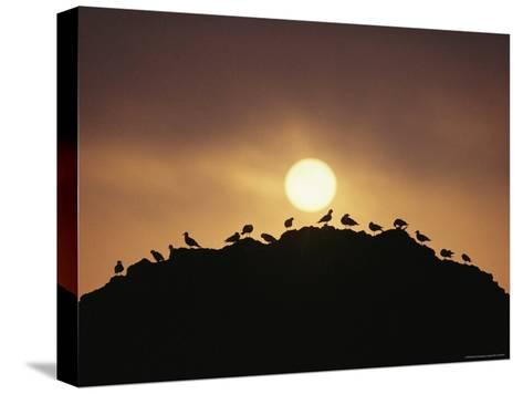 Silhouette of Shorebirds on Rock against Sun-Joel Sartore-Stretched Canvas Print