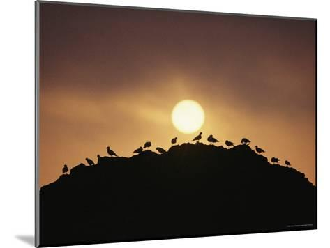 Silhouette of Shorebirds on Rock against Sun-Joel Sartore-Mounted Photographic Print