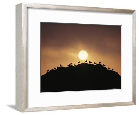 Silhouette of Shorebirds on Rock against Sun-Joel Sartore-Framed Art Print