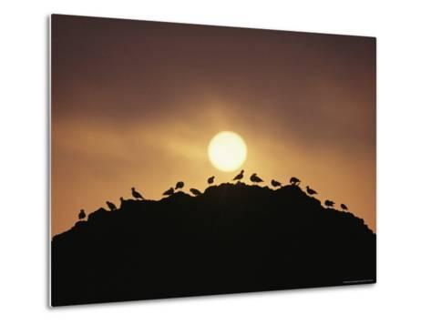 Silhouette of Shorebirds on Rock against Sun-Joel Sartore-Metal Print