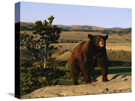 An American Black Bear Stands Atop a Rock-Norbert Rosing-Stretched Canvas Print