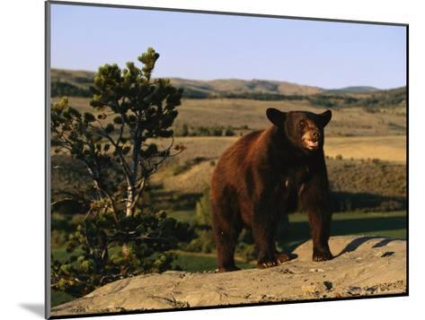 An American Black Bear Stands Atop a Rock-Norbert Rosing-Mounted Photographic Print
