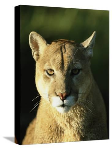 A Portrait of a Mountain Lion-Norbert Rosing-Stretched Canvas Print