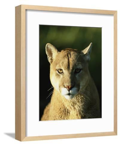 A Portrait of a Mountain Lion-Norbert Rosing-Framed Art Print