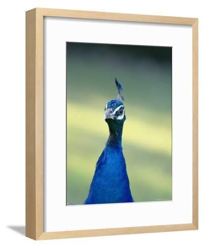 Close View of the Head and Neck of an Indian Peacock-Norbert Rosing-Framed Art Print