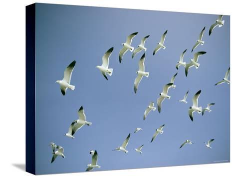 A Flock of Gulls in Flight-Bill Curtsinger-Stretched Canvas Print