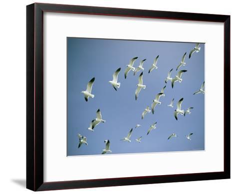 A Flock of Gulls in Flight-Bill Curtsinger-Framed Art Print