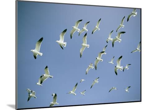 A Flock of Gulls in Flight-Bill Curtsinger-Mounted Photographic Print