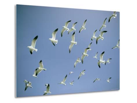 A Flock of Gulls in Flight-Bill Curtsinger-Metal Print