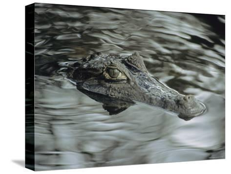 A Spectacled Caiman Swims Through a Stream in Venezuela-Ed George-Stretched Canvas Print