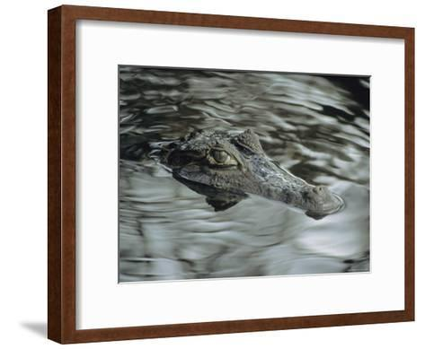 A Spectacled Caiman Swims Through a Stream in Venezuela-Ed George-Framed Art Print