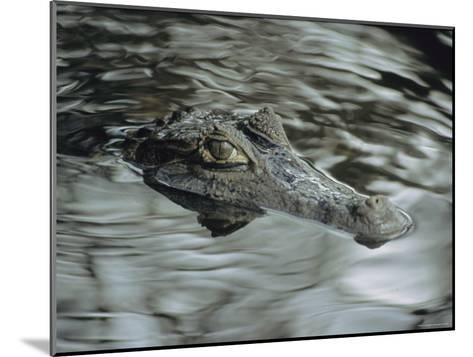 A Spectacled Caiman Swims Through a Stream in Venezuela-Ed George-Mounted Photographic Print