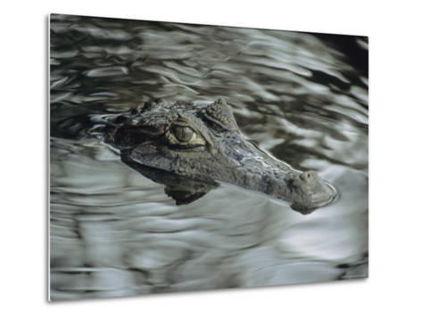 A Spectacled Caiman Swims Through a Stream in Venezuela-Ed George-Metal Print
