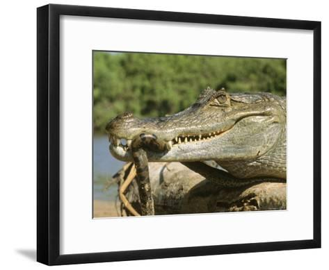 A Spectacled Caiman Eats an Anaconda in Venezuela-Ed George-Framed Art Print
