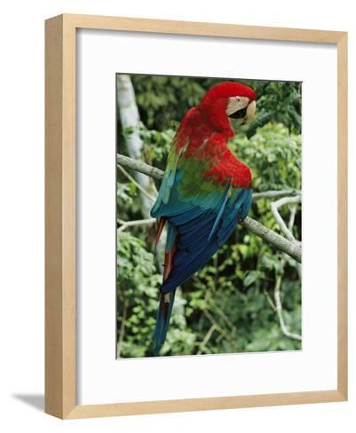 A Scarlet Macaw Sits on a Tree Branch in Venezuela-Ed George-Framed Art Print