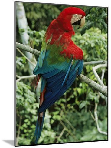 A Scarlet Macaw Sits on a Tree Branch in Venezuela-Ed George-Mounted Photographic Print