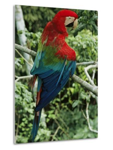 A Scarlet Macaw Sits on a Tree Branch in Venezuela-Ed George-Metal Print