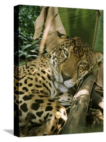 A Jaguar Rests on the Jungle Floor-Ed George-Stretched Canvas Print